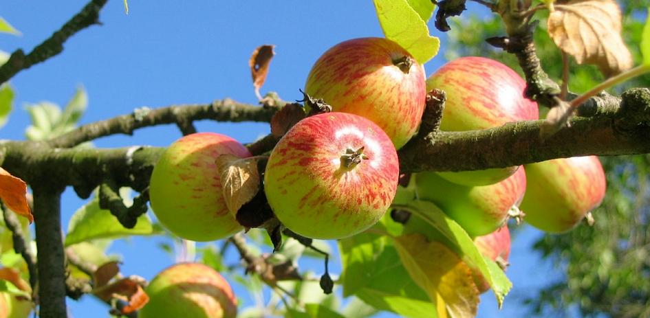 si quieres manzanas