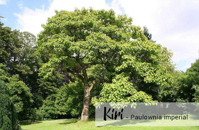 Kiri El árbol que salvara la humanidad
